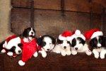 Christmas_Border_Collie_Forum.jpg